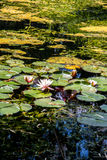 Water lilies in the pond. Summer pond with blooming water lilies Stock Photo