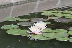 Water lilies on a pond. Two water lilies on a pond Stock Photography