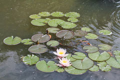 Water lilies on a pond. Two water lilies on a pond Stock Photo