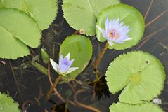 Water lilies in a pond. Two of many water lilly flowers in a pond in Botanical gardens Durban SA Royalty Free Stock Photo