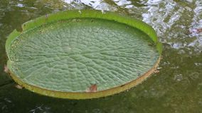 Water lilies in pond stock video