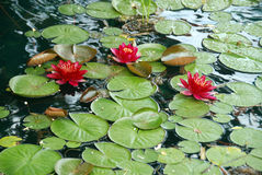Water Lilies. In a pond in a winery in Amador County, Northern California Royalty Free Stock Images