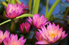 Water Lilies, Purple, Aquatic Plant Royalty Free Stock Image