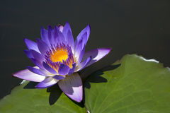 Water lilies  with  purple flower Stock Photography