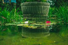 Water lilies with red and white flowers with green leafs, lush g stock photo