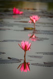 Water Lilies with reflection Stock Photo