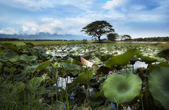 Water lilies and rice fields in Tak, northern provinces of Thailand. Stock Images