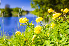 Water Lilies On The River Bend. The lilies were just blooming on a warm and sunny day by the river stock photography