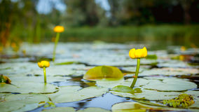Water lilies on a river Stock Photo