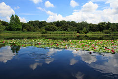 Water Lilies of Saitama City Minuma natural park Royalty Free Stock Photography