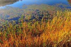 Water lilies and saw grass stock photos