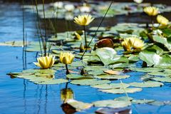 Water lilies on a small pond stock photos