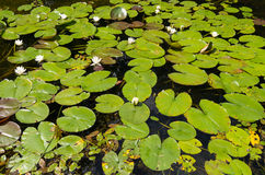 Water lilies in small pond in Wirty. Waterlilies floating in the small pond in Wirty, Poland Royalty Free Stock Images