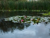Water lilies in a small swamp stock image