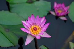 Water lilies. Spring, blooming water lily.two water lilies Stock Photo