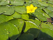 Water lilies Royalty Free Stock Photos
