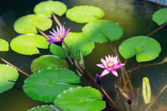 Water lilies in summer pond Royalty Free Stock Photography