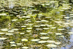Water lilies on the summer time Stock Images