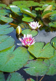 Water lilies on a sunny day. Beautiful and colofful water lilies on a sunny day Stock Photos