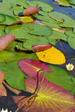 Water lilies on a sunny day - multicolored photography. Water lilies in the pond on a sunny day - multicolored vertical photography royalty free stock photos