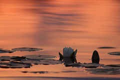 Water lilies at sunset pond Royalty Free Stock Photo