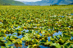 Water Lilies. Surface of Shallow Lake Filled With Yellow Pond Lily PLants royalty free stock photo