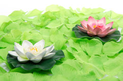 Water lilies surrounded by green petals Royalty Free Stock Photography