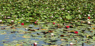 Water Lilies on a Tranquil Pond Royalty Free Stock Images