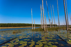 Water Lilies Trees Lake Blue. Water Lilies and tall straight dry trees standing vertical out of the dam waters into the clear blue day with mirror reflections on Stock Photos