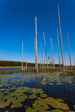 Water Lilies Trees Lake Vertical. Water Lilies and tall straight dry trees standing vertical out of the dam waters into the clear blue day with mirror Stock Photography