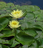 Water Lilies. Two water lilies, floating serenely above a jumble of lily pads Stock Photo