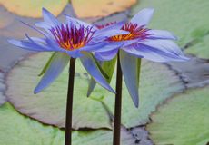 Water lilies. Two sculptural water lilies with lily leaves Stock Photo