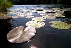 Water Lilies V1 Stock Images