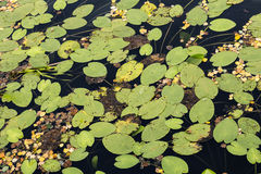 Water lilies at the very end of the summer Royalty Free Stock Photo