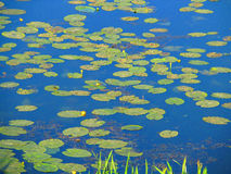 Water lilies in the water. Bright card with yellow water lilies Royalty Free Stock Photo