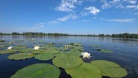 Water-lilies. stock photos