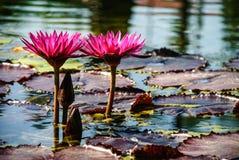 Water Lilies Stock Photos