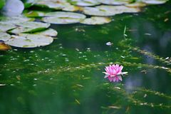 Water lilies. Water lily, perennial aquatic plant. A family of angiosperm, dicotyledonous, and water lily, belonging to the genus nilodon. Because the plants of stock photography