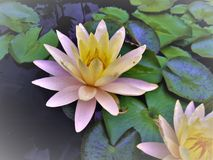 Water Lilies on Water Surface. Pale pink and yellow water lilies on a pond in King, North Carolina Royalty Free Stock Photography