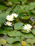 Water lilies. White water lilies on garden pond Stock Images
