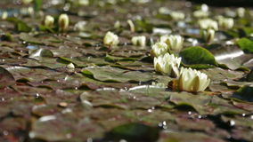 Water lilies stock footage