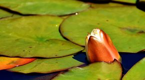 Water Lilies, White, Summer Stock Photos