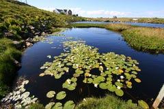 Wild water lilies on lake Royalty Free Stock Photo