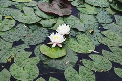 Water lilies in Wuhan royalty free stock image