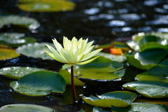 Water lilies. A yellow flower of water lilies Stock Image