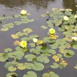 Water lilies. Yellow. Pretty. Flowers Stock Photography
