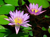 Water Lillies. In bloom in a pond at the botanical garden royalty free stock image