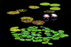 Water Lillies Stock Afbeelding