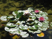 Water lillies Stock Image