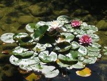 Water lillies. Beautiful water lillies stock image
